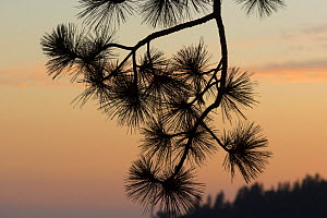 Ponderosa Pine (Pinus ponderosa) branch silhoutted against sunset, Sierra Nevada, California, USA, May.  -  Chris  Mattison