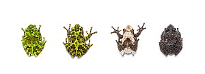 Bug-eyed frogs (Theloderma) four different species : Vietnamese mossy frog (Theloderma corticale) Chapa bug-eyed frog (Theloderma bicolor),  Pied warty frog (Theloderma asperum) and Chantaburi warted...  -  Chris  Mattison