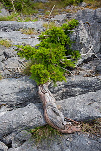 Yew (Taxus baccata) stunted tree growing on limestone pavement, Gait Barrows, Lancashire, England, UK, July.  -  Chris  Mattison
