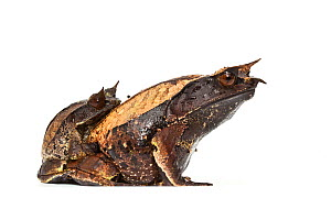 Asian horned frogs (Megophrys nasuta) in amplexus, on white background, captive occurs in South East Asia. - Chris  Mattison