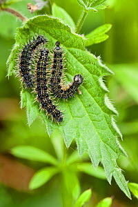 Peacock butterfly caterpillars (Inachis io) on stinging nettle, Derbyshire, England, UK May. - Chris  Mattison