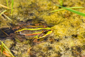Marsh frog (Pelophylax ridibunda) Rainham Marshes, Essex, UK, April.  -  Chris  Mattison