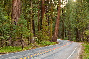 US Highway 198 passing through the Sequoia National Park, California, USA, May.  -  Chris  Mattison