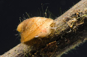 Freshwater limpet (Ferrissia sp) Europe, March, controlled conditions. - Jan  Hamrsky