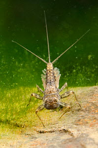 Flathead mayfly nymph (Heptageniidae) Europe, April, controlled conditions.  -  Jan  Hamrsky
