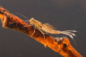 Minnow mayfly (Baetidae) nymph on submerged twig, Europe, January, controlled conditions. - Jan  Hamrsky