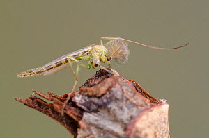 Non-biting midge (Chironomidae) adult male, Europe, January, controlled conditions.  -  Jan  Hamrsky