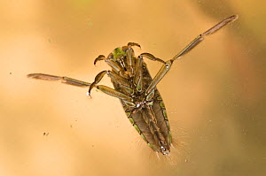 Backswimmer (Notonecta glauca) viewed from above, Europe, February, controlled conditions.  -  Jan  Hamrsky