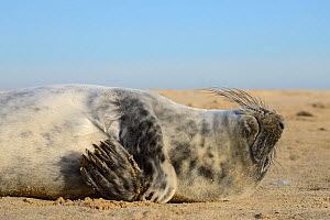 Grey seal pup (Halichoerus grypus) scratching itself with a flipper while lying on a sandy beach, Norfolk, UK, January. - Nick Upton