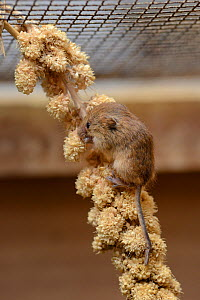 Young Harvest mouse (Micromys minutus) feeding on a Millet seed spray within a breeding cage, being reared for a reintroduction project, Lifton, Devon, UK, May.  -  Nick Upton