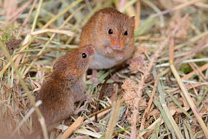 Juvenile and adult Harvest mouse (Micromys minutus) foraging on millet from a seed spray within a breeding cage, being reared for a reintroduction project, Lifton, Devon, UK, May.  -  Nick Upton
