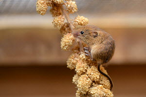 Harvest mouse (Micromys minutus) foraging on a Millet seed spray within a breeding cage, being reared for a reintroduction project, Lifton, Devon, UK, May.  -  Nick Upton