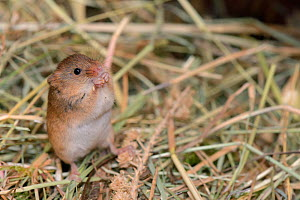 Harvest mouse (Micromys minutus) standing as it dehusks and feeds on millet from a seed spray within a breeding cage, being reared for a reintroduction project, Lifton, Devon, UK, May.  -  Nick Upton