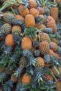 Pineapples for sale at market, Pettah, Colombo, Sri Lanka.  -  TJ Rich
