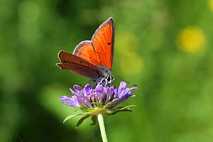 Purple-edged copper butterfly (Lycaena hippothoe) on Field scabious (Knautia arvensis) flower, France, July.  -  Kim Taylor