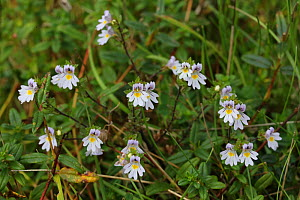Eyebright (Euphrasia officinalis) flowers. Surrey, England, September.  -  Kim Taylor
