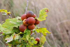 Oak marble-galls caused by Gall wasp (Andricus kollari). Surrey, England, September. - Kim Taylor