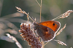 Small heath butterfly (Coenonympha pamphilus) resting in late evening light. Surrey, England, September.  -  Kim Taylor