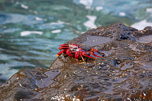 Red rock crab (Grapsus adscensionis) on rock, La Palma, Canary Islands. - Kim Taylor