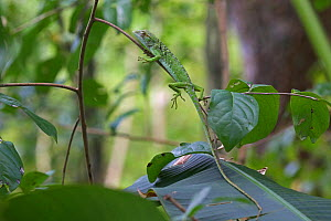 Immature Anolis lizard (Anolis richardii) on branch. Tobago, West Indies.  -  Kim Taylor