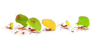 Leaf-cutter ants (Atta cephalotes) on white background, carrying leaf sections and flower heads. Tobago, West Indies. Digital Composite. - Kim Taylor
