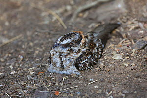 White-tailed nightjar (Caprimulgus cayennensis) resting during daylight. Tobago, West Indies. - Kim Taylor