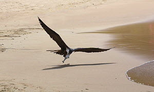 Magnificent frigatebird (Fregata magnificens) snatching small fish off the beach. Tobago, West Indies. - Kim Taylor