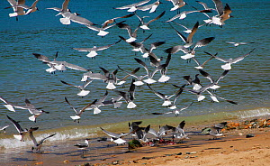 Laughing gulls (Larus atricilla) descending on fish guts discarded on the beach. Tobago, West Indies.  -  Kim Taylor