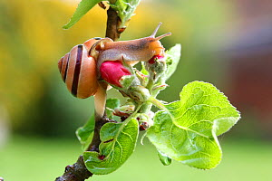 Brown-lipped banded snail (Cepaea nemoralis) in apple tree. Surrey, England, April. - Kim Taylor