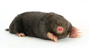 European mole (Talpa europaea) on white background. Captive, occurs in Europe. - Kim Taylor