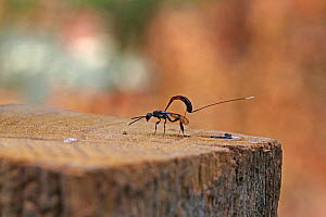 Ichneumon wasp (Gasteruption jaculator) laying eggs on top of wooden fence post, Surrey, England, July.  -  Kim Taylor