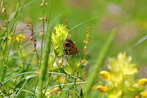 Heath fritillary (Mellicta athalia ab. cymathoe), aberrant form showing underside. France, July.  -  Kim Taylor
