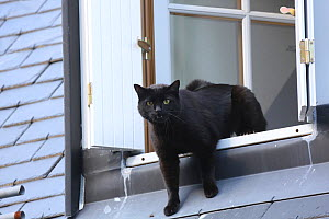 Black domestic tom cat vocalising at rival from an upstairs window, Gavarnie, France.  -  Kim Taylor