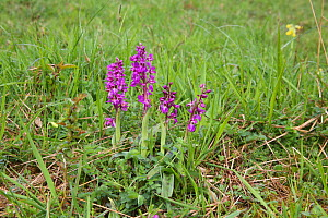 Early purple orchid (Orchis mascula) on Cotswold downland, Gloucestershire, England, April.  -  Kim Taylor