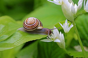 RF- White-lipped banded snail (Cepaea hortensis) on Wild garlic leaf. Gloucestershire, England, April. (This image may be licensed either as rights managed or royalty free.) - Kim Taylor