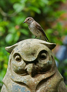 Spotted flycatcher (Muscicapa striata) perched on stone owl. Surrey, England, June.  -  Kim Taylor