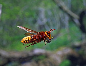 European hornet (Vespa crabro) worker in flight carrying masticated insect material to the nest. Surrey, England, August.  -  Kim Taylor