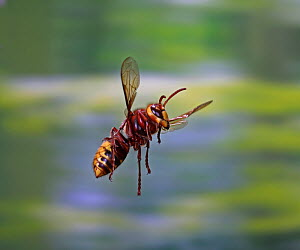 European hornet (Vespa crabro) worker in flight, Surrey, England, August. - Kim Taylor