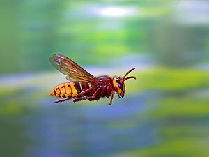 RF- European hornet (Vespa crabro) worker in flight, Surrey, England, August. (This image may be licensed either as rights managed or royalty free.)  -  Kim Taylor