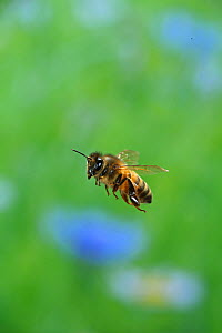 Honey bee (Apis mellifera) in flight, Surrey, England, July. - Kim Taylor