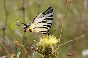 RF- Scarce swallowtail butterfly (Iphiclides podalirius) on Yellow thistle (Centaurea sp) Bulgaria, July. (This image may be licensed either as rights managed or royalty free.)  -  Kim Taylor