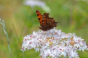 Comma butterfly (Polygonia c-album) feeding on Dwarf elder (Sambucus ebulus) flowers, Bulgaria, July.  -  Kim Taylor