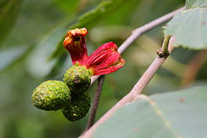 Alder tongue gall caused by fungal plant pathogen (Taphrina alni) Bulgaria, August. - Kim Taylor
