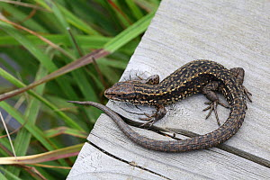 Common viviparous lizard (Lacerta vivipara) on wood, Surrey, England, September.  -  Kim Taylor