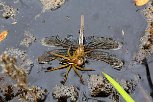 Raft spider (Dolomedes fimbriatus) female feeding on drowned dragonfly. Surrey, England, September. - Kim Taylor