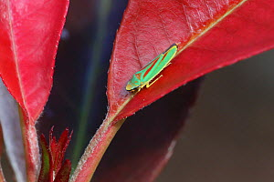 Rhododendron leaf-hopper (Graphocephala fennahi) on leaf (Photinia sp) Surrey, England, October.  -  Kim Taylor