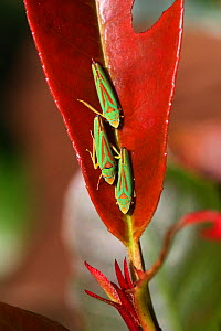 Rhododendron leaf-hoppers (Graphocephala fennahi) on leaf (Photinia sp) Surrey, England, October.  -  Kim Taylor