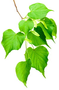 Large-leaved Lime (Tilia platyphyllos) in flower, Slovenia, Europe, May. meetyourneighbours.net project  -  MYN  / Marko Masterl