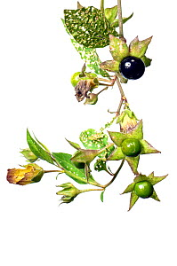 Deadly Nightshade (Atropa belladonna) with fruits, Slovenia, Europe, September. meetyourneighbours.net project  -  MYN  / Marko Masterl