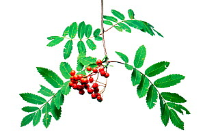 Rowan (Sorbus aucuparia) with fruits, Slovenia, Europe, September. meetyourneighbours.net project  -  MYN  / Marko Masterl